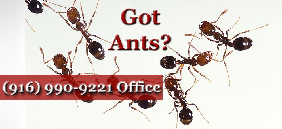 Sacramento Ant Control