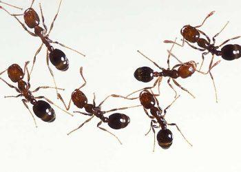 ants in Sacramento