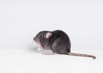 mice and rats in Sacramento